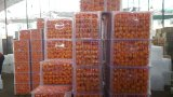 Export Nouvelle culture Good Quality China Mandarin Orange
