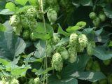 Flavones d'houblon : 4%, 5%, 10%, 20% par l'extrait UV d'houblon d'approvisionnement d'usine