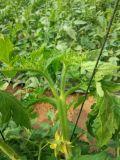 Fertilizante orgânico da agricultura de Unigrow na plantação vegetal