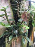 عشب [شنس] دوائيّ يطبّق [أونيغروو] تربة مكثف