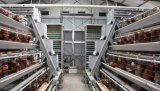 Equipamento Breeding galvanizado da gaiola da camada da bateria da maquinaria de exploração agrícola da galinha