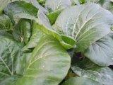 어떤 잎 참외 식물성 설치를 위한 Unigrow 토양 비료