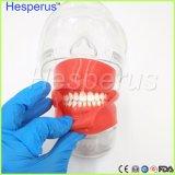 Zahnmedizinischer Edelstahl einfaches vorbildliches Hesperus Zahnarzt-Hauptmodell