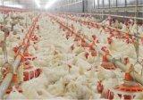 Edificio agrícola de la estructura de acero de 2 historias para el pollo