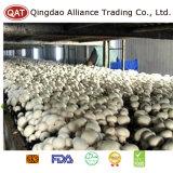 La máxima calidad nuevo cultivo de setas Champignon