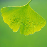 Pure Natural Ginkgo Biloba Extract Powder with 90%Ginkgo Flavone