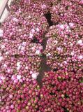 Pivoines fraîches de fleur coupée de pivoine herbacée