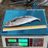 2018 Nova chegada Pacífico congelados sarda no mar de peixes de tamanho alimentar 250-350g