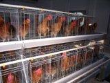 Автоматическая клетка бройлера в доме цыплятины с низкой ценой