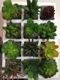 Plantes et fleurs artificielles de la centrale succulente Gu-SD-15126