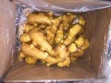 Buena calidad Nueva Cosecha de jengibre fresco (250 g en adelante)