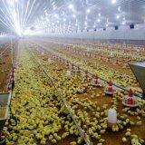 닭 농장 헛간을%s 가축에 있는 강철 건축 집
