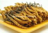 Reine natürliche Polysaccharide des Cordyceps Myzel-Auszug-10%~40%