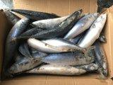 De Makreel van de kopvoorn/de Bevroren Makreel van /Pacific van de Makreel