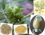 Améliorer la performance sexuelle pur et naturel Tribulus Terrestris Extract