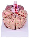 Анатомический мозг с артериями и моделью нервов