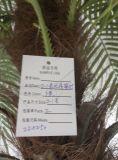 좋은 품질 Chrysalidocarpus Lutesens Bonsai