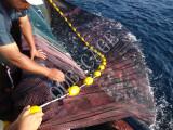 Sich hin- und herbewegende Ohrschnecke bewirtschaftet Fisch-Rahmen