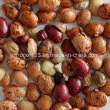 Classificador salpicado da cor do feijão-roxo da luz aprovada do GV do ISO do Ce