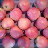 Nueva cosecha de manzana Qinguan próximamente.