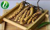Qualität wilder Cordyceps Sinensis Lieferant