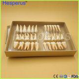 2.5 volte un modello adulto dei 32 denti permanenti di PCS