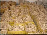Gingembre sec par collecte neuve, gingembre frais, gingembre frais chinois