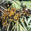 High Quality Saw Palmetto Berry Extract 25% 45% Fatty Acid