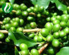 Green Coffee Bean Extract Chlorogenic Acids 25% 50% 75%