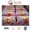 Carton Packing Normal White Garlic Fresh Garlic (5.0cm and up)
