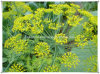 Manufacturer Natural Dill Seed Extract Powder
