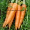 2017 Fresh Carrot with Good Quality