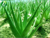 Aloe Powder Extract Aloin20%-80%