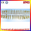 Dental Supply 2 Colored Permanetn Teeth Model with Natural Anatonical