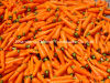 Premium Fresh Organic Carrots New Crop