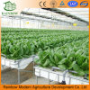 Hydroponics System for Greenhouse for Sale