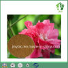 100% Natural Raw Ingredient Hibiscus Flower Extract/Polyphenols Powder