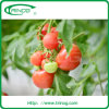 Coco peat hydroponic growing system for tomatoes