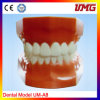 Hot Sales Removable Teeth Dental Study Model