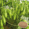 High Quality Hops Extract/ 4%-10% Flavonoids