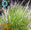 Ophiopogon Japonicus Extract / Ophiopogon Japonicus (Thunb.) Ker-Gawl