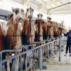 Fish Bone Camel Milking Parlour Machine Install 2*12