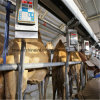Fish Bone Milking Parlor 32 Camels Automatic Measurement System Machine