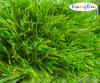 Good Quality Artificial Grass with Bicolor for Soccer