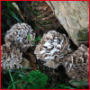 Maitake Extract/Grifola Frondosa Extract Powder/Maitake Mushroom Extract