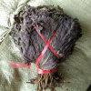 Chinese Herbal Medicine Perilla Leaf