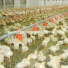 Automatic Poultry Pan Feeder and Nipple Drinker for Broiler