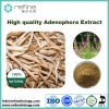 High Quality Adenophora Extract, Ladybell Root Extract, Glehnia Littoralis Root Extract