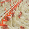 Automatic Equipment Light Weight Metal Steel Structure Frame Broiler Farm/Poultry House/Broiler House/Chicken House
