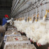 Poultry Automatic Chickens Slaughterhouse Equipment Chicken Slaughter Line in Rsa